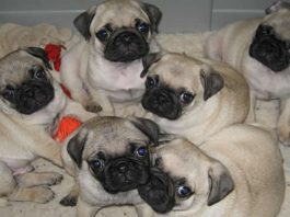 Meeting the Pug Breeder