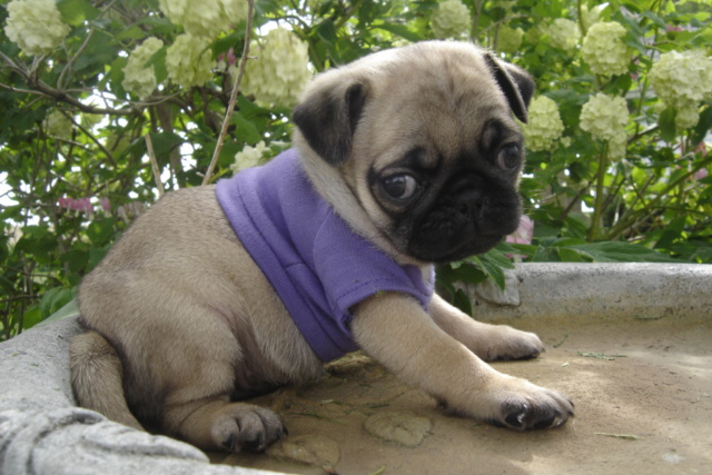 Reputible Pug Breeders