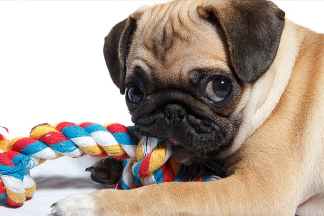 Socializing Your Pug