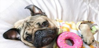 The Pug Vibe